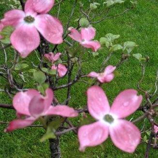Dogwood flower placeholder
