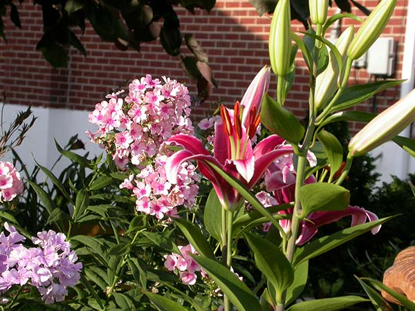 Lilies in front of brick home